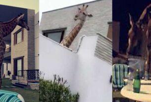 Giraffe in the DHA