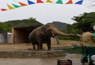 THE WORLD'S SOLITARY ELEPHANT HAS ARRIVED IN CAMBODIA
