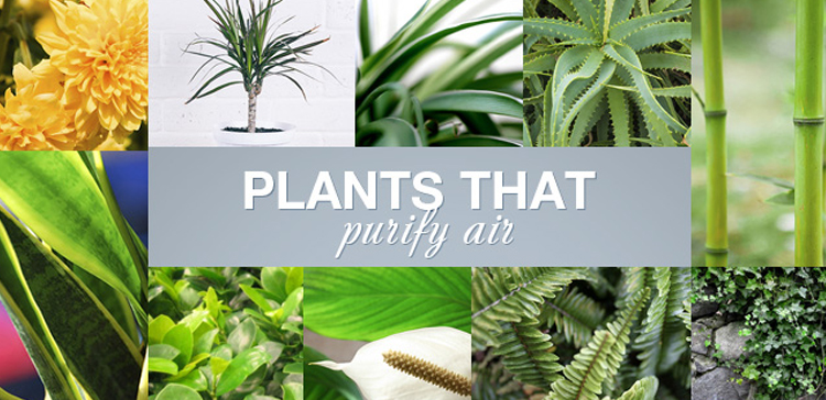 FEW INDOOR PLANTS THAT ARE WELL KNOWN TO PURIFY THE AIR